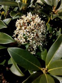 The last of the skimmia flowers