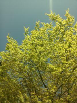 Acer in spring