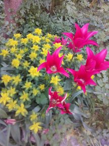 Euphrobias and shocking pink tulips