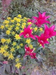 Euphrobias and shocking pink tulips